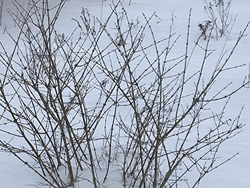Naked shrubs in the snow at Karme Choling.